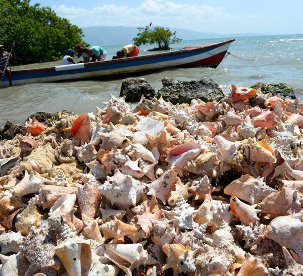 Ian Allen/Staff Photographer Hundreds of Conch Shells dumped along the beach behind the Sav-la-mar Market by fishermen over the years.